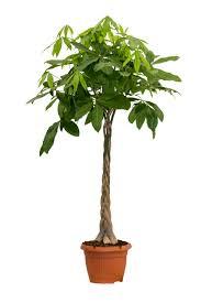 Pachira tronco intrecciato that 39 s gentile consegna - Pachira pianta ...